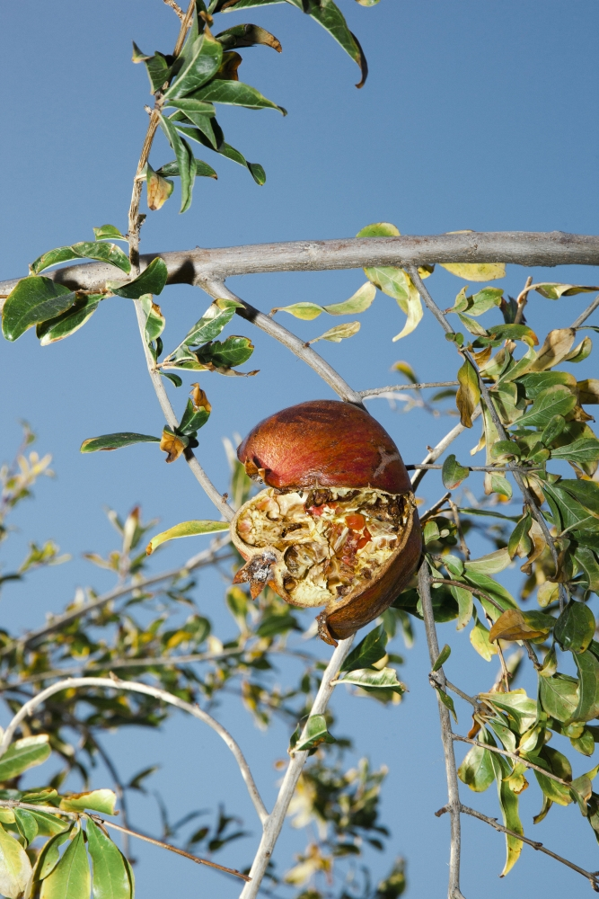 Pomegranate tree, Cyprus, 2014