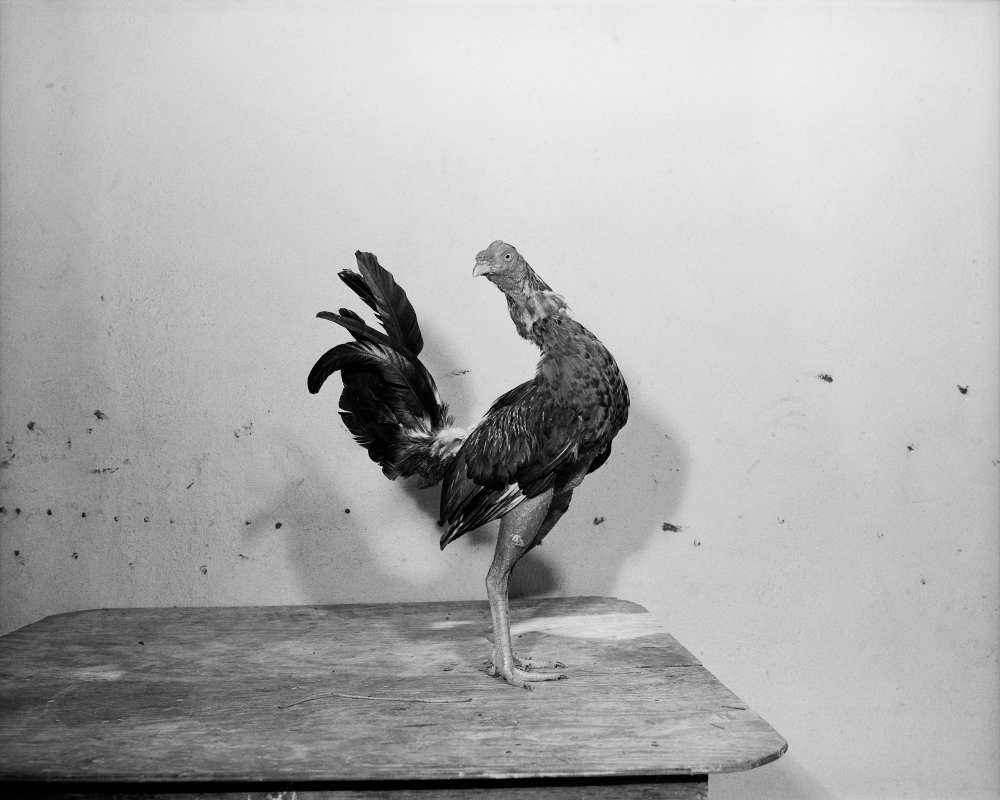 Don Quijote, from the series Cocks, San Andres Isla, Colombia, 2000